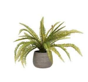Boston Fern in Concrete Planter